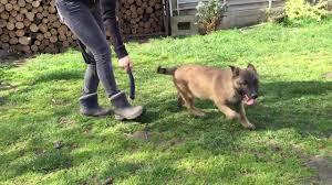 belgian sheepdog malinois charade 10 week old belgian shepherd malinois puppy for sale