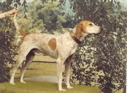 bluetick coonhound drool 119 best american english coonhound images on pinterest english