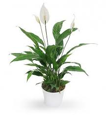 peace lilly peace plant s florist