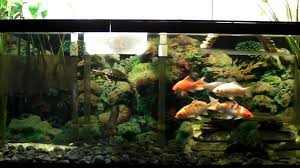 red eared slider turtle with koi and pacu in a diy raised canopy