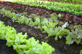 Starting An Organic Vegetable Garden by Reasons To Start A Garden Sunwarrior
