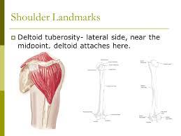 Human Shoulder Diagram Shoulder Anatomy Ppt Video Online Download
