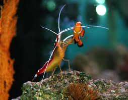 image of cleaner shrimp with clown fish cleaner shrimp from