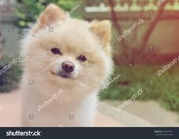 pomeranian small pets friendly stock photo 350847164