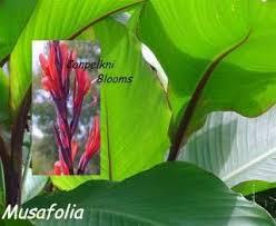 Canna Lily Canna Bulb Tubers Musafolia Canna Stands 4 5 Feet Tall Beatifu