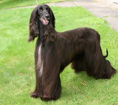 afghan hound trainability dog breeds ez vet pet education and news