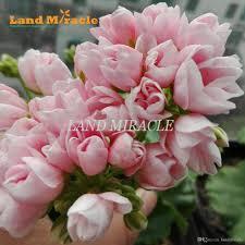 2017 geranium peach pink ball flower seeds 5 seeds bonsai