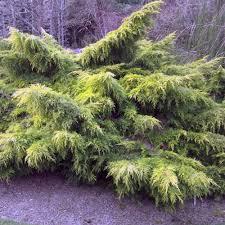 juniperus x pfitzeriana carbery gold buy carberry gold junipers