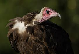 Seeking Vulture Why Vultures Matter And What We Lose If They Re Unews