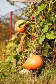 583 best tips for growing pumpkins images on pinterest gardening