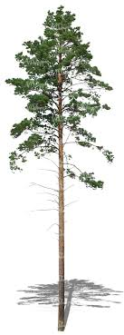 cut out and thin pine tree cut out trees and plants vishopper