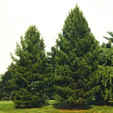 spruce pine for sale wholesale lowest prices guaranteed