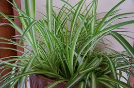 Spider Plant Outstanding Spider Plant Cats 24 For Your Home Design Pictures