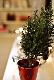 real mini christmas tree with lights quiet like horses 2012