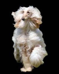 afghan hound weight 131 best afghan hound images on pinterest afghan hound afghans