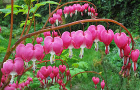 quotes heart bleeding hearts poisoning in dogs symptoms causes diagnosis treatment