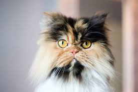 domestic cat vs mixed breed cat what is the difference