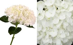 hydrangea white white flowers hydrangea 23 free hd wallpaper hdflowerwallpaper