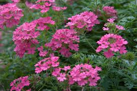 verbena flower s pink verbena plants encyclopedia