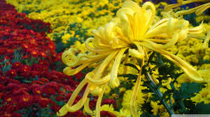 autumn flowers hd desktop wallpaper high definition mobile