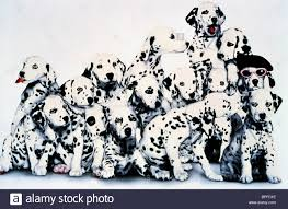 dalmatian puppies 101 dalmatians 1996 stock photo royalty free