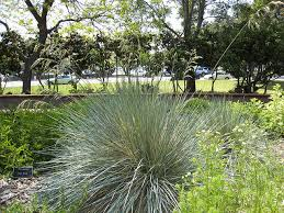 ornamental grasses for water wise landscapes extension