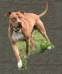 ukc american pitbull terrier traditional adba red nose pit bull puppies for sale in ca