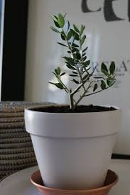 best 25 olive plant ideas on pinterest rainforest plants