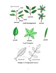 Leaf Dichotomous Key Worksheet Compound Leaf And Simple Leaf Theleaf Co