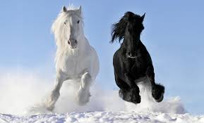 mustang horse running pictures horses running 2 white black snow animals