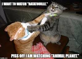 Cat Fight Meme - two cats fighting for real imgflip