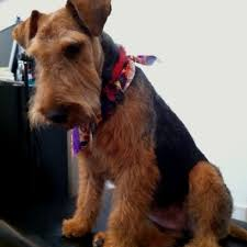 153 best our love for airedales images on pinterest airedale