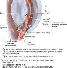 Basic Anatomy Of The Ear The Eye U0026 Ear Special Sense Organs Junqueira U0027s Basic Histology