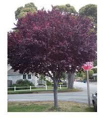5 cherry plum seeds prunus cerasifera fragrant ornamental tree