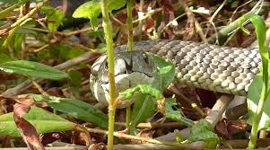 how to get rid of snakes capture and protect yourself from