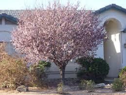 flowering plum whitfill nursery flowering trees