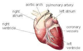 External Heart Anatomy Cardiovascular System Of The Dog