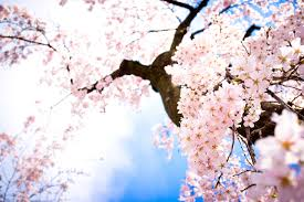 morning blossom wallpapers cherry blossom pictures wallpaper desktop h766017 nature hd