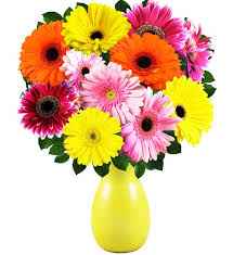 gerbera daisies gerbera daisies farm fresh avas flowers