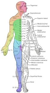 Human Anatomy And Physiology Final Exam The Sensory And Motor Exams Anatomy And Physiology