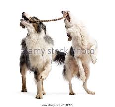 playing with australian shepherd pulling shepherd stock photos u0026 pulling shepherd stock images alamy