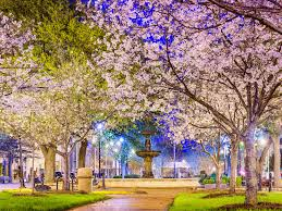 Cherry Blossom Tree Facts by Macon Georgia Is The Cherry Blossom Capital Of The World