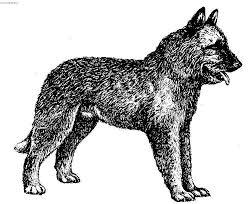 belgian shepherd standard belgian shepherd laekenois dog standard pictures images