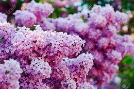 lilac flowers branch of lilac flowers stock photo picture and royalty free