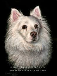 american eskimo dog forum samantha american eskimo spitz dog original ink on engraved