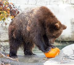 halloween is pumpkin weather for zoos old farmer u0027s almanac