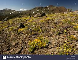 Alpine Rock Garden by Mass Of Alpine Flowers In Predominantly Yellow Rock Garden Above