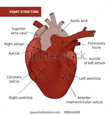 Gross Anatomy Of The Human Heart Vector Diastole Systole Filling Pumping Human Stock Vector