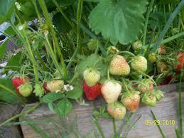 growing berries in containers cheryl u0027s garden goodies
