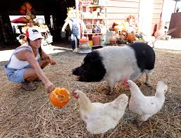 Pumpkin Patch Frisco Tx by Take A Tour Of Lola The Pig U0027s New Digs All Dressed Up For Fall